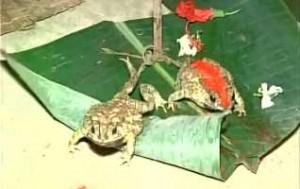 frog-wedding_0