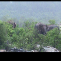 elephant in river -keunjhar