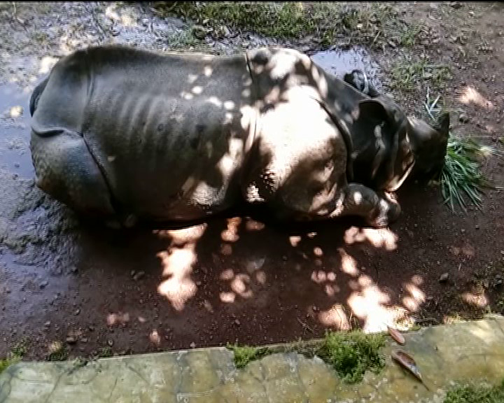 nandankanak- rhino nanda dies