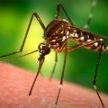 japanese encephalitis mosquito