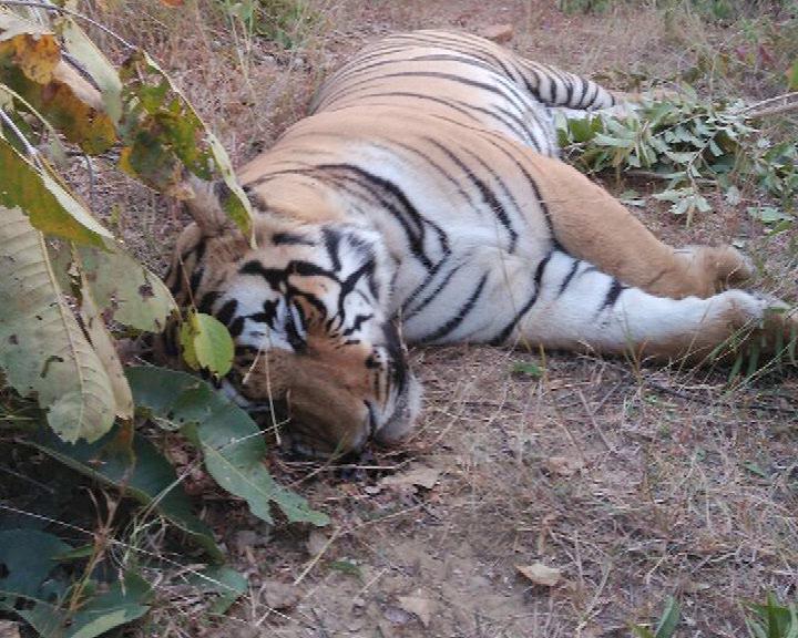 tiger dead body