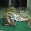 tiger death suspence