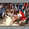 kendrapada crocodile rescue