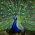 Peacocks Don't Have Sex, Says Rajasthan High Court Judg