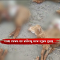 Unseen Killer Butchering Sheeps In Niali; Scares Villagers
