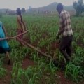 mp-farmer-used-his-daughters-to-pull-the-plough
