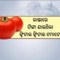 Sudden Rise In Tomato Price Creates Hurdle For Costumers In Odisha