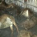 sheep death