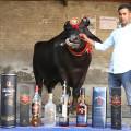 bull drinks whisky