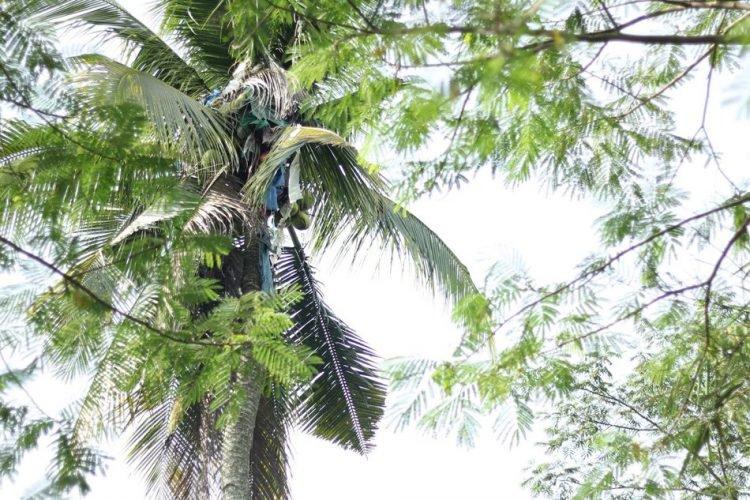 Gilbert-Sanchez-coconut-tree-