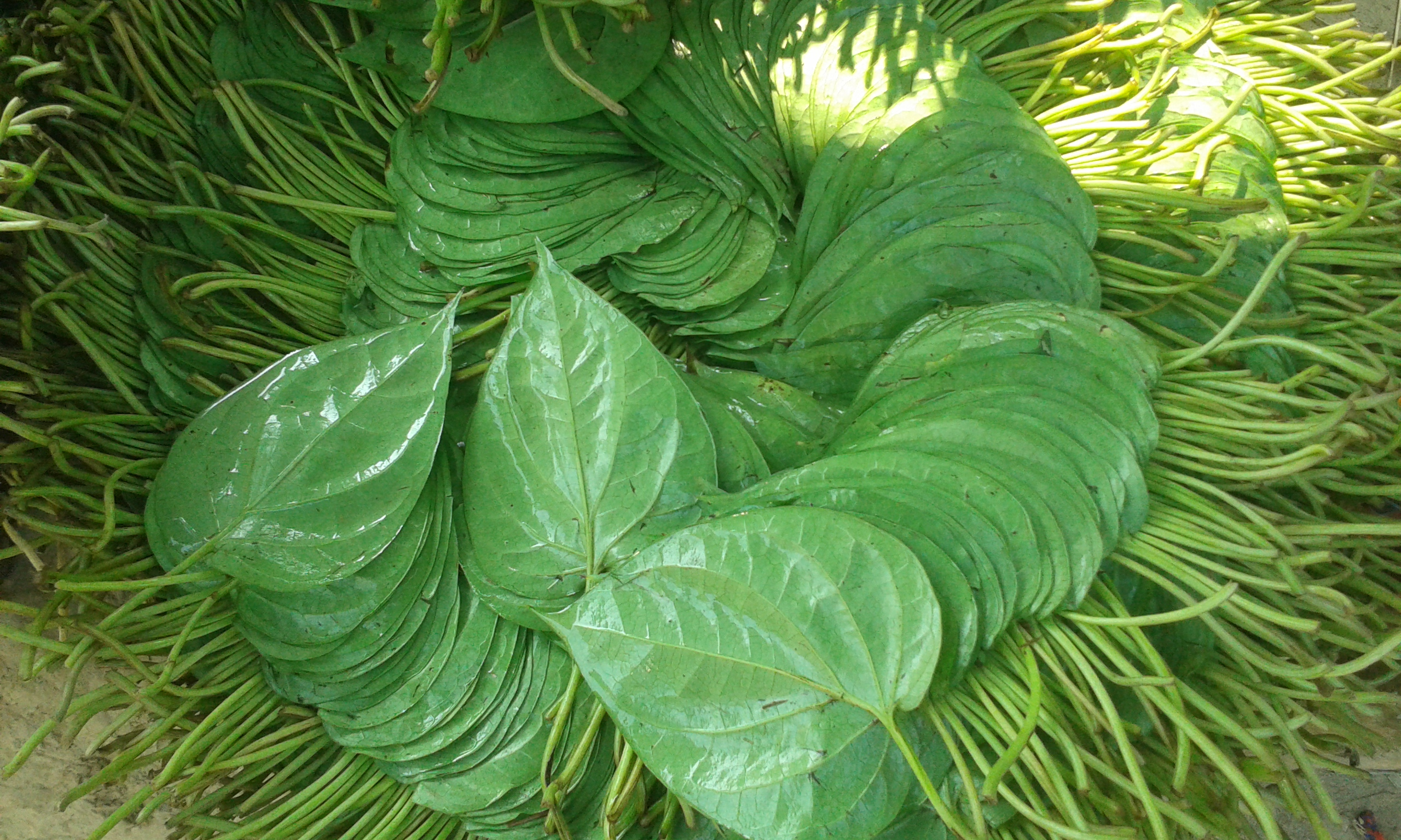 bettle leaf