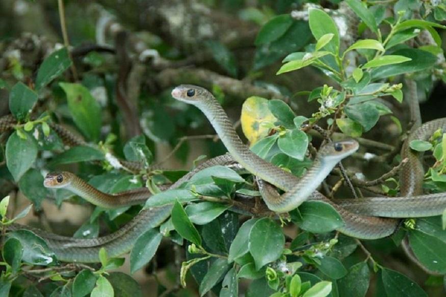snake firm
