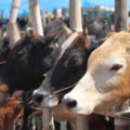 433526-cow