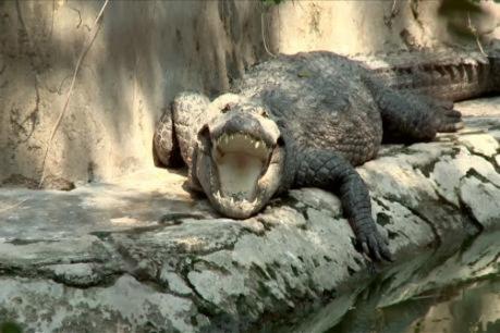 crocodile babia