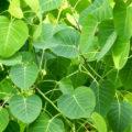 Peepal-leaves
