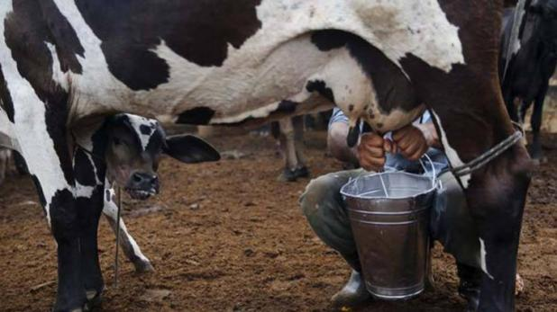 cow-produce-more-milk-after-listening-music-rajasthan