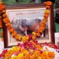 family celebrates cow fauneral
