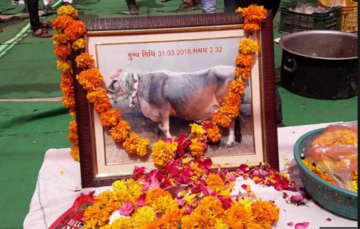 family celebrates cow fauneral