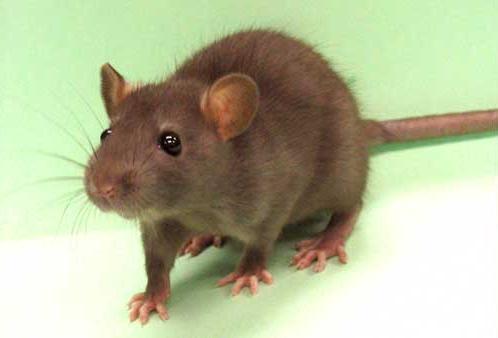 rat bite coma patient eye