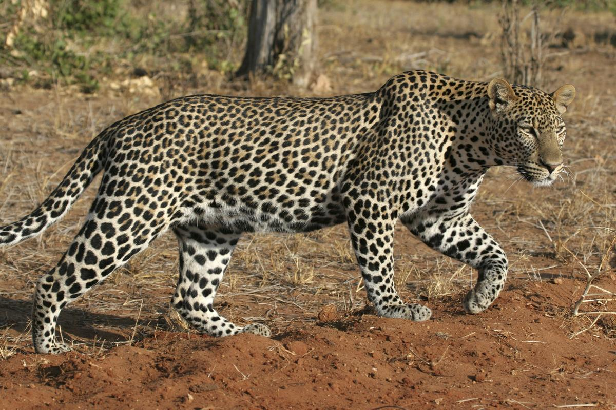 leopard-on-the-move