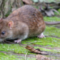 rat killing