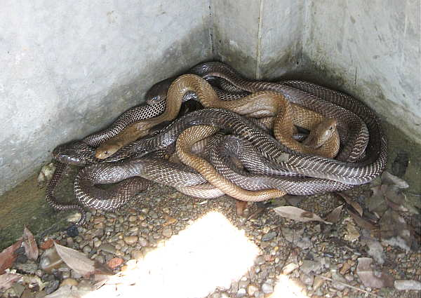 400 snake
