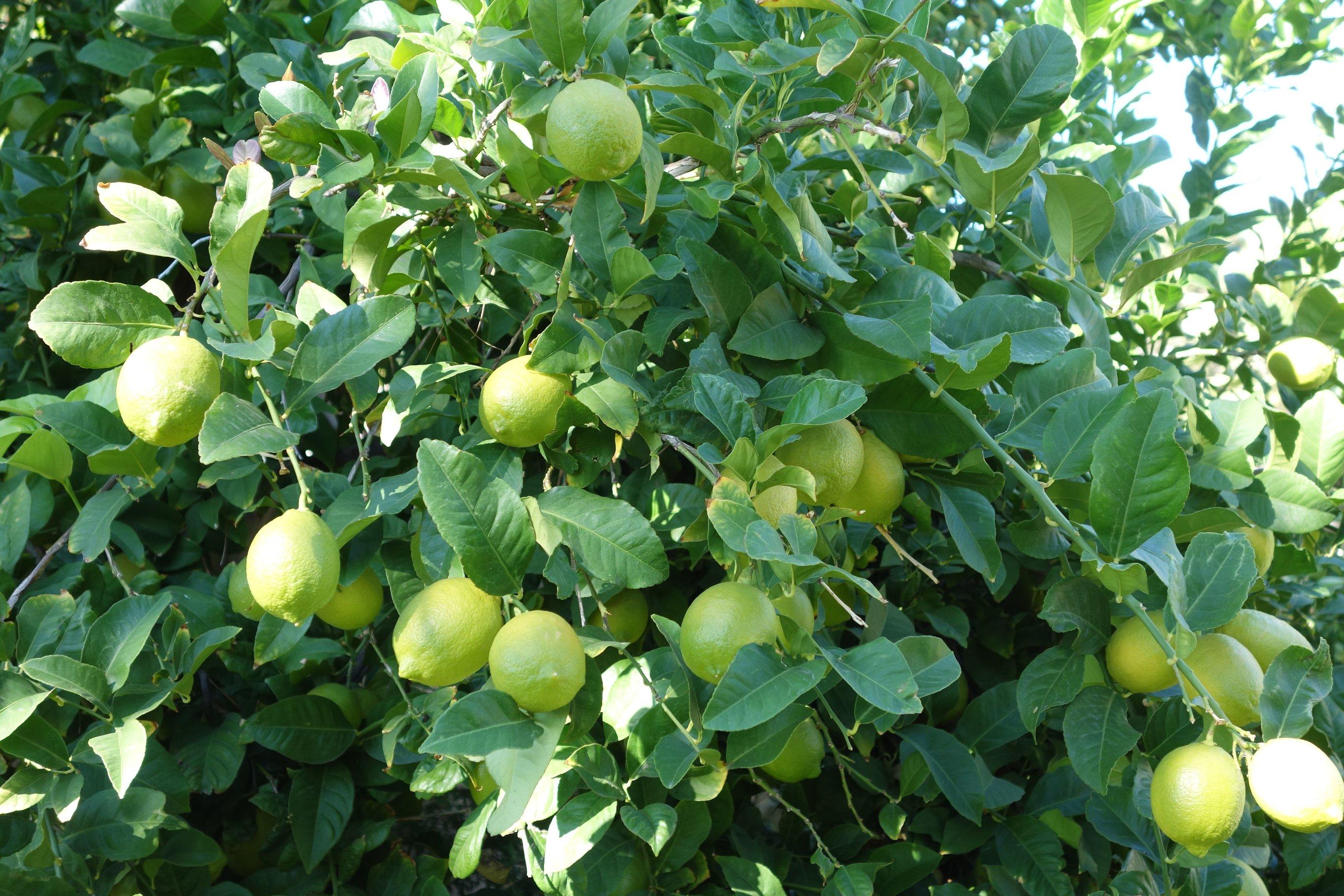 lemon-leaf