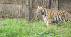 sundari tigress